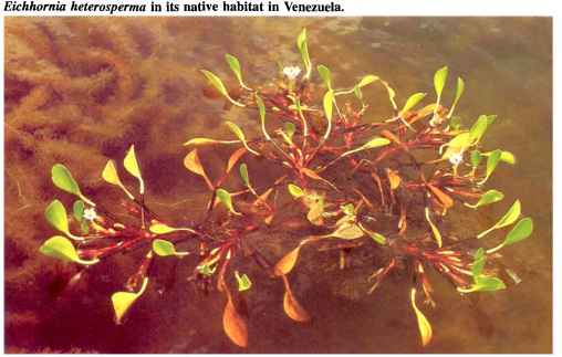 Aquarium Plant Species Yellow