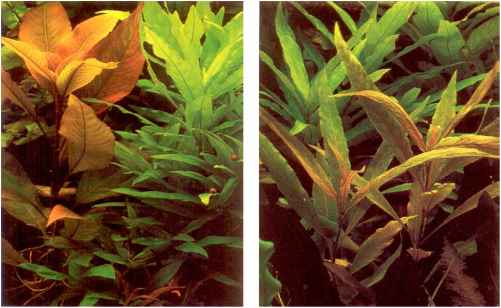 Aquarium Plants Losing Color