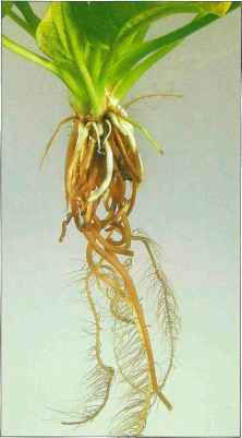 Aquarium Plants With Long Roots