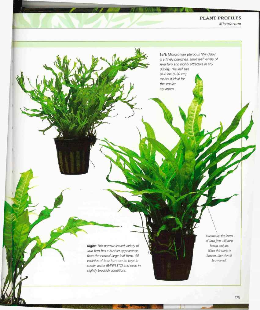 Tropica Aquarium Plants Online 1000 Ideas
