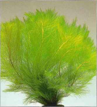 Myriophyllum Aquaticum For Fish Tanks