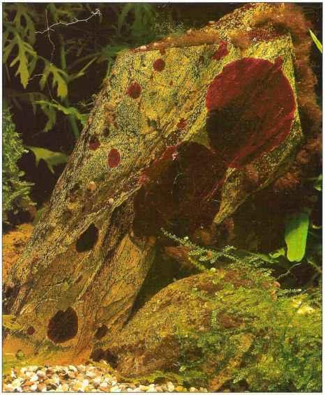 Aquarium Algae Types Aquarium Plants Gibell Aquarium