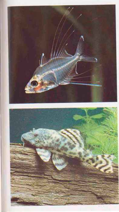 Freshwater Catfish For Aquariums