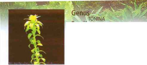 Trichocoronis Rivularis Oak