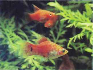 Double Swordtail Platties