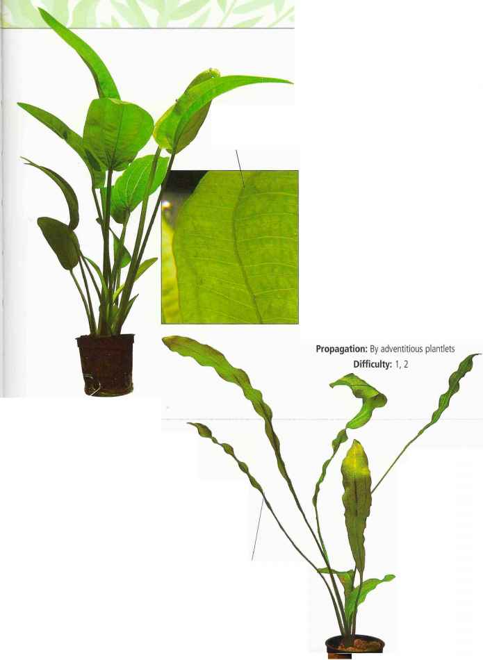 Adventitious Shoots Images