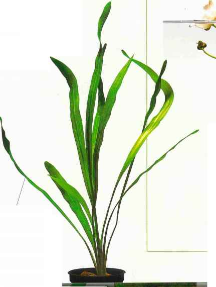 Freshwater Aquarium Plant Long And Thin