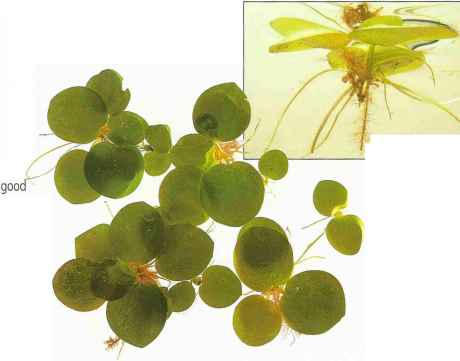 Freshwater Aquarium Floating Plants