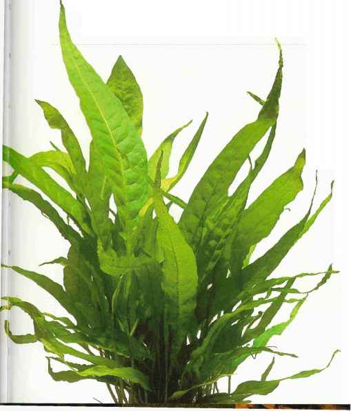 Java Fern Rock