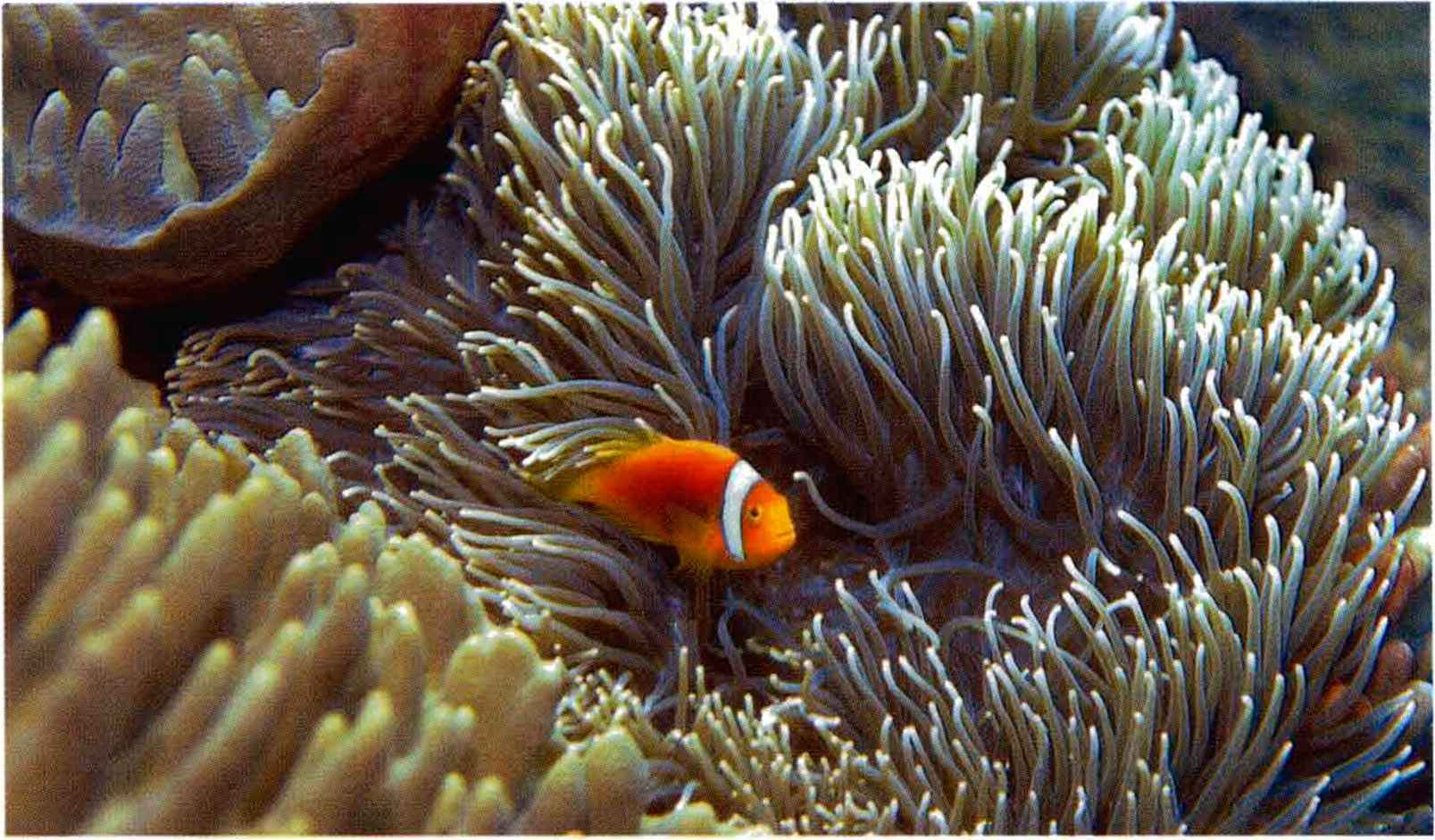 Amphiprion Chrysopterus Solomon Islands