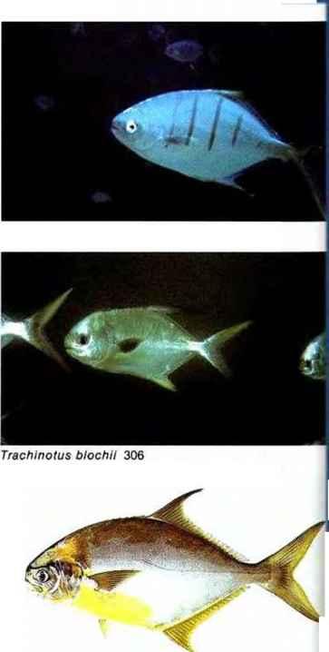 Seriola rivoliana marine aquarium gibell aquarium society for Aquarium 600l