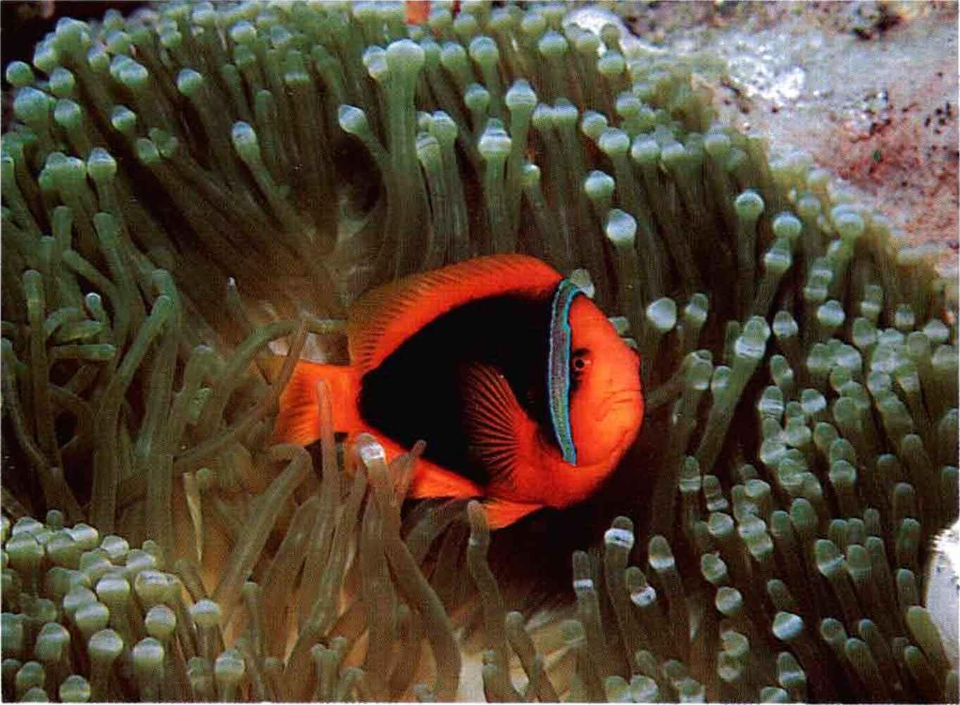 Tomato clownfish anemone - photo#5
