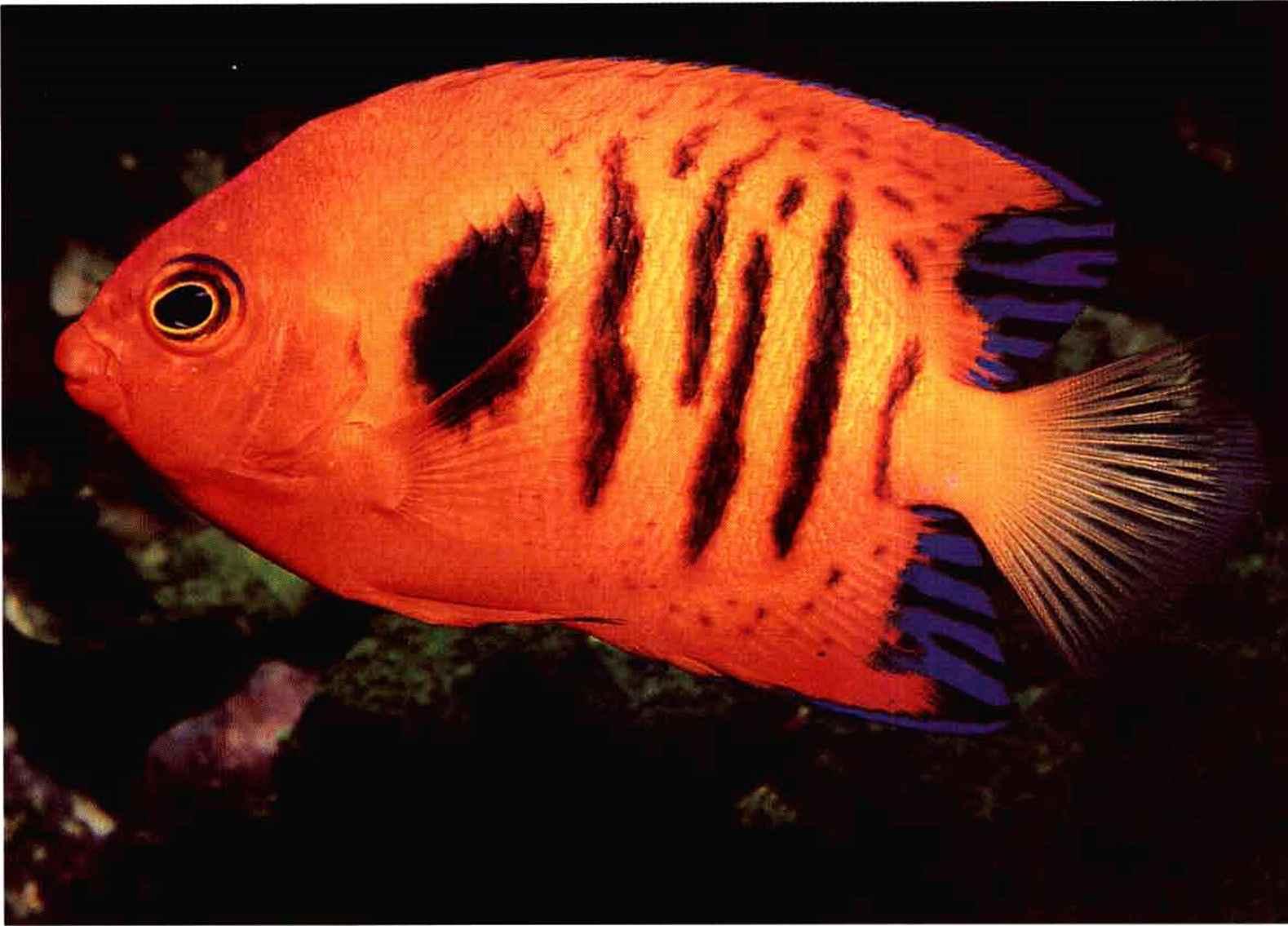 Dorsal Fin Banggai - Reef Aquariums - gibell Aquarium Society