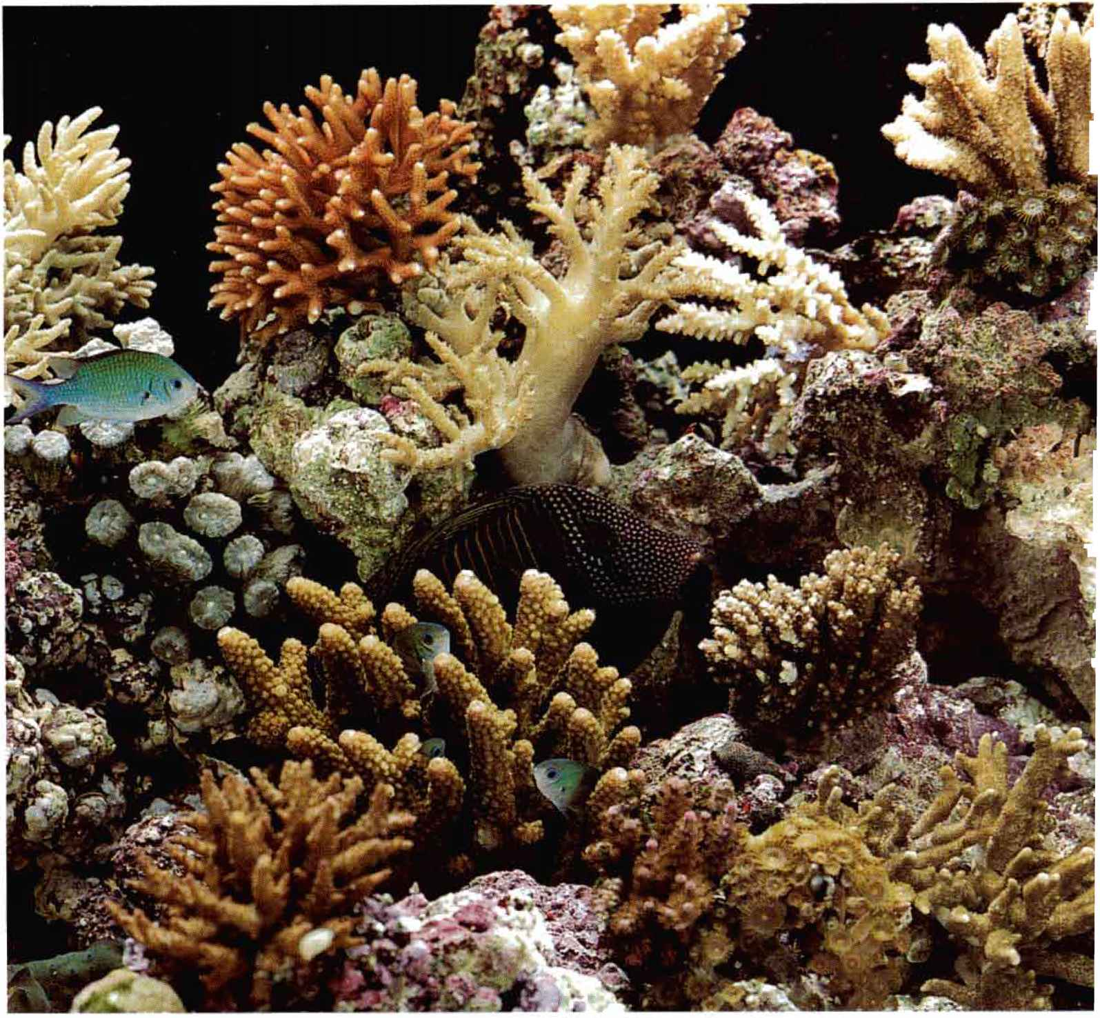 Relatively compact by stony-coral aquarium standards, the under-the ...