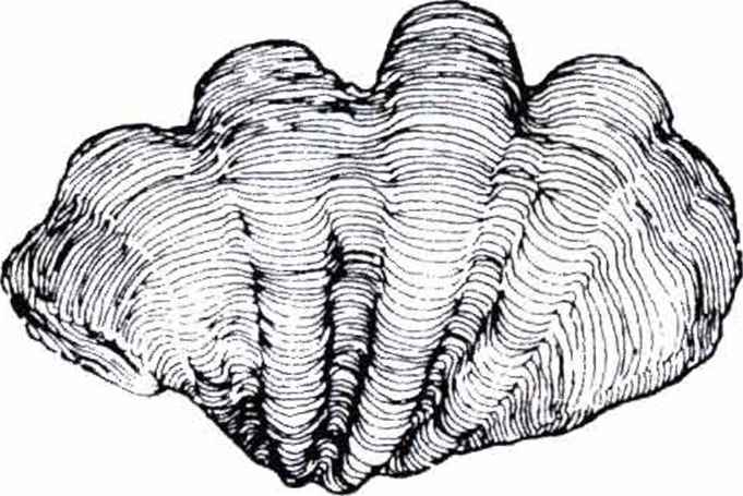 Shell Fossil Colouring Page