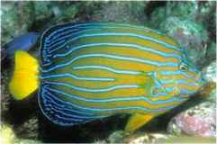 Fish With Blue Stripes Orange Tail